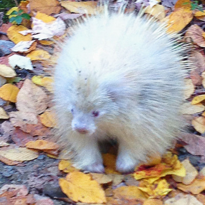 Fluffy, the elusive albino porcupine living in the park. Photo by Jen Hogan.