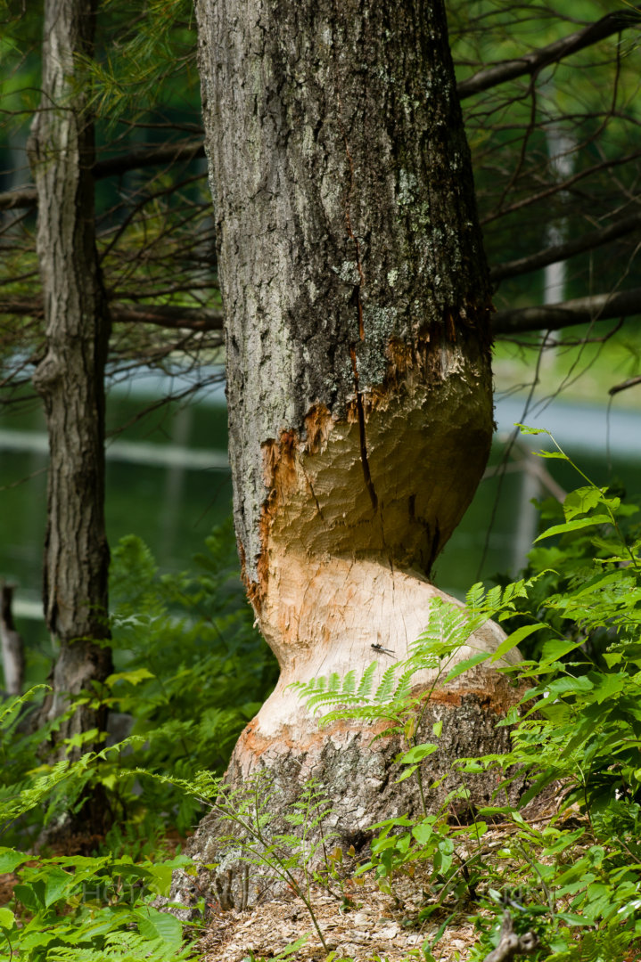 A large oak tree chewed by beavers.