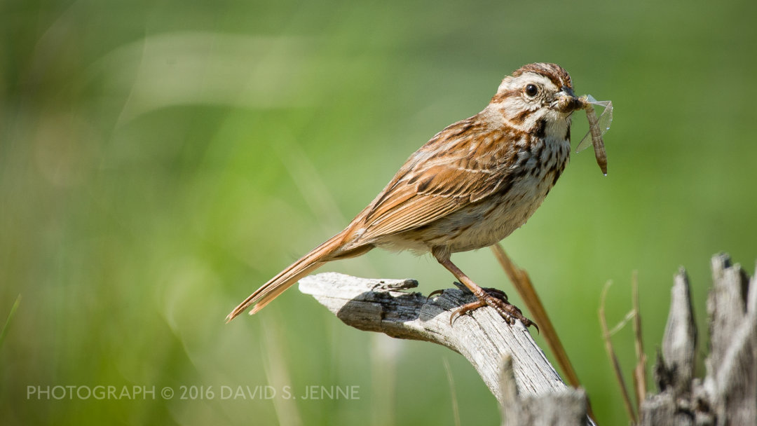 Song Sparrow-Muddy Pond-Rutland-VT-20160604-18-2