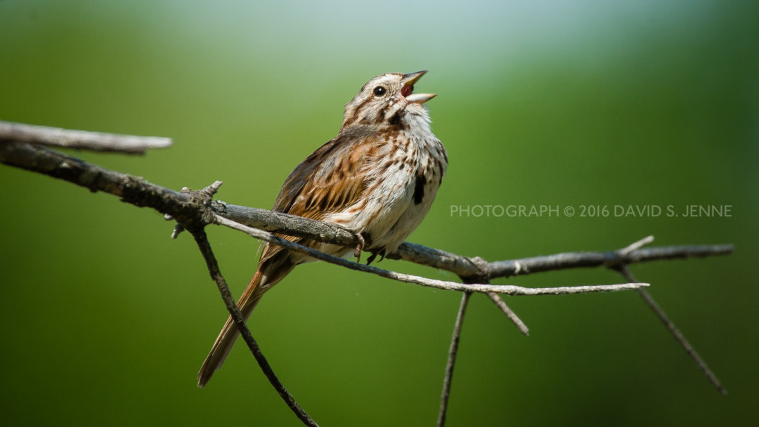 Song Sparrow-Muddy Pond-Rutland-VT-20160604-27-3