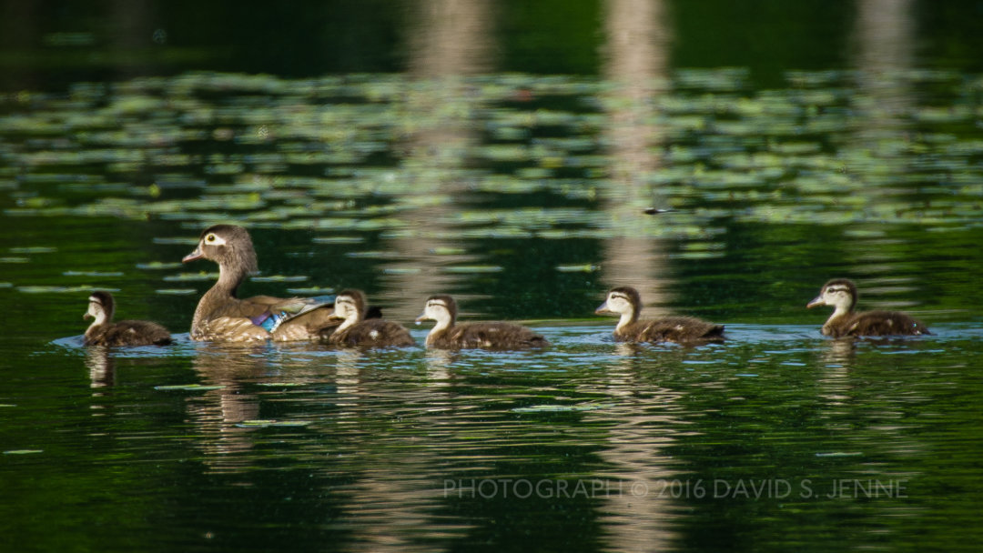 Wood Duck family at Muddy Pond.